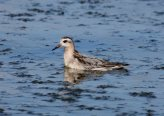 Red Phalarope - Hamlin Beach SP, Sept. 14, 2014 _ Brad Carlson (rare)