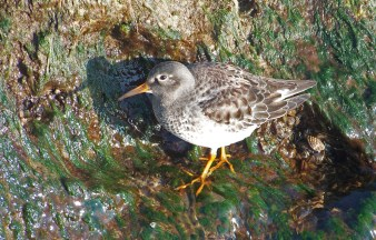 Purple Sandpiper, North end of Irondequoit Bay. Tip of West Jetty. 12:26:1 © Robert Buckert2a