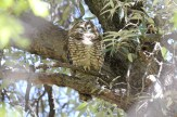 Spotted Owl - Arizona © Dominic Sherony