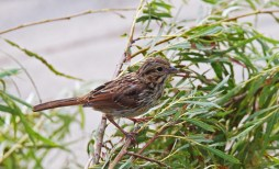 Song Sparrow - Irondequoit Bay Outlet - © Dick Horsey - July 17, 2015