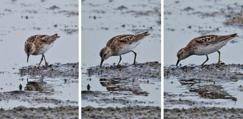 Least Sandpiper - Montezuma NWR - © Dick Horsey - July 26, 2015