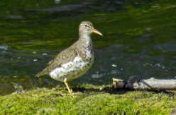 Spotted Sandpiper - Oatka Creek Park - © Jim Adams - Aug 02, 2015