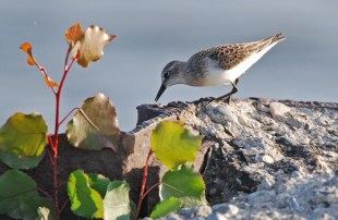 Semipalmated Sandpiper - Summerville Pier - © Dick Horsey - Aug 14, 2015