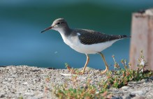 Spotted Sandpiper - Summerville Pier - © Dick Horsey - Aug 19, 2015