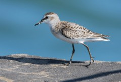 Semipalmated Sandpiper - Charlotte Beach - © Dick Horsey - Aug 19, 2015