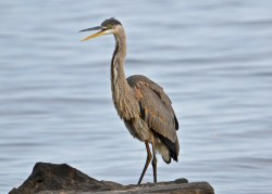 Great Blue Heron - Webster Park - © Peggy Mabb - Aug 29, 2015