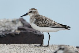 Semipalmated Sandpiper - Summerville Pier - © Dick Horsey - Aug 30, 2015