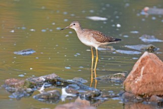 Lesser Yellowlegs - Lakeside Beach Park - © Dick Horsey - Sep 03, 2015