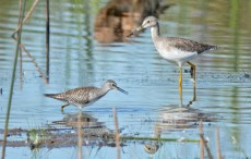 Lesser (L) and Greater (R) Yellowlegs - Montezuma NWR - © Dick Horsey - Sep 11, 2015