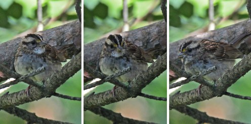 White-throated Sparrow (Juv) - Durand Park - © Dick Horsey - Sep 14, 2015