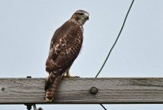 Red-tailed Hawk - Montezuma NWR (Muckrace) - © Dick Horsey - Sep 19, 2015