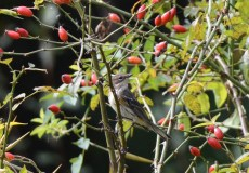 Yellow-rumped Warbler - Lakeview Church Trail - © Dick Horsey - Sep 25, 2015