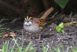White-throated Sparrow - Webster - © Peggy Mabb - Oct 01, 2015