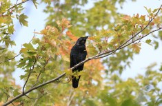 Fish Crow - Charlotte Beach - © Jeanne Verhulst - Oct 05, 2015
