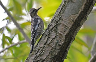 Yellow-bellied Sapsucker (Juv) - Hamlin Beach Park - © Dick Horsey - Oct 05, 2015