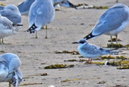 Forster's Tern - Irondequoit Bay Outlet - © Dick Horsey - Oct 10, 2015