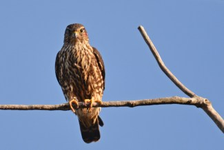 Merlin - Whiting Road Preserve - © Dick Horsey - Oct 10, 2015