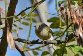 Ruby-crowned Kinglet - Whiting Road Preserve - © Dick Horsey - Oct 10, 2015