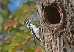 Hairy Woodpecker - Tinker Nature Park - © Dick Horsey - Oct 11, 2015
