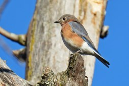 Eastern Bluebird (F) - Tinker Nature Park - © Dick Horsey - Oct 11, 2015