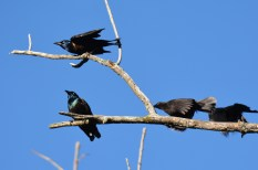 Common Grackle - Tinker Nature Park - © Dick Horsey - Oct 11, 2015