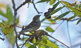 Yellow-rumped Warbler - Pittsford RR Loop Trail - © Dick Horsey - Oct 12, 2015