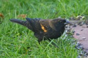 Red-winged Blackbird - Webster - © Peggy Mabb - Oct 15, 2015