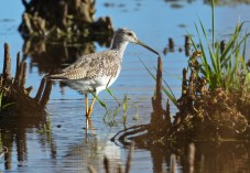 Greater Yellowlegs - High Acres Nature Area - © Dick Horsey - Oct 23, 2015