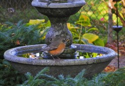 American Robin - Greece - © Carol Shay - Oct 26, 2015
