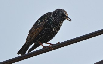 European Starling - Summerville Pier - © Dick Horsey - Oct 27, 2015