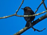 Rusty Blackbird - Oatka Creek Park - © Jim Adams - Oct 26, 2015