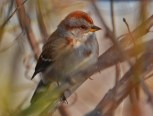 American Tree Sparrow - Irondequoit Bay Outlet - © Peggy Mabb - Nov 16, 2015