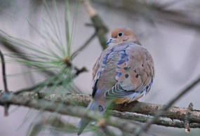Mourning Dove - Brighton - © Dick Horsey - Nov 21, 2015