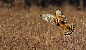 Northern Harrier - West Bloomfield - © Zaphir Shamma - Nov 23, 2015