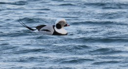 Long-tailed Duck - Irondequoit Bay Outlet - © Dick Horsey - Nov 26, 2015