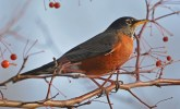 American Robin - Irondequoit Bay Outlet - © Dick Horsey - Nov 26, 2015