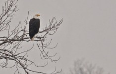 Bald Eagle - Conesus Lake (RBA Field Trip) - © Dick Horsey - Dec 05, 2015