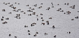 Redhead Duck and 3 Lesser Scaup (top center) - Conesus Lake (RBA Field Trip) - © Dick Horsey - Dec 05, 2015