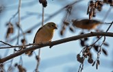 American Goldfinch - Durand Eastman Park - © Dick Horsey - Dec 08, 2015