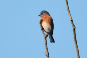 Eastern Bluebird - High Acres Nature Area - © Dick Horsey - Dec 09, 2015