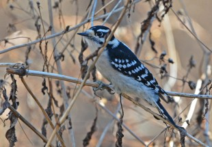Downy Woodpecker - Tinker Nature Park - © Dick Horsey - Dec 11, 2015