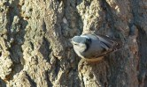 White-breasted Nuthatch (F) - Highland Park (Christmas Bird Count) - © Dick Horsey - Dec 20, 2015
