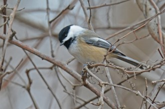 Black-capped Chickadee - Lucien Morin Park - © Dick Horsey - Dec 21, 2015