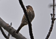 House Finch - Durand Eastman Park - © Dick Horsey - Dec 21, 2015