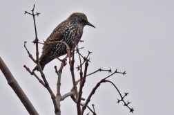 European Starling - Durand Eastman Park - © Dick Horsey - Dec 21, 2015