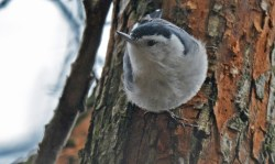 White-breasted Nuthatch - Durand Eastman Park - © Dick Horsey - Dec 26, 2015