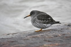 Purple Sandpiper - Irondequoit Bay Outlet - © Nick Kachala - Jan 02, 2016