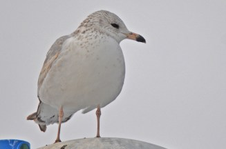 Ring-billed Gull (Juv) - Irondequoit Bay Outlet - © Dick Horsey - Jan 15, 2016