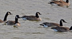 Cackling Goose (C) - Irondequoit Bay Outlet - © Dick Horsey - Jan 27, 2016