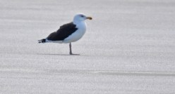 Great Black-backed Gull - Irondequoit Bay Outlet - © Dick Horsey - Jan 27, 2016